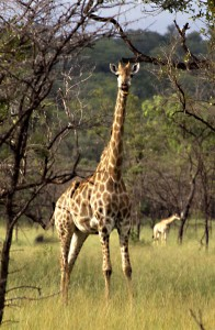 sudafricagiraffa