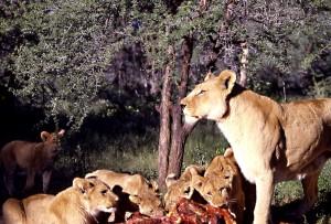 sudafricaleoni