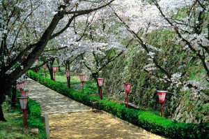 Path during Cherry Blossom Festival in Japan