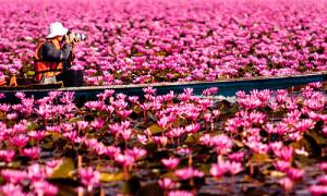 Fiori di Lotus in Thailandia