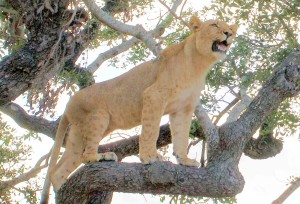 leonessa nello Zimbabwe