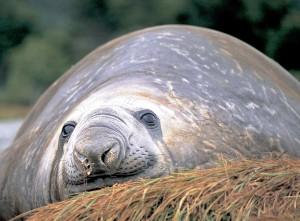 Patagonia, leone marino