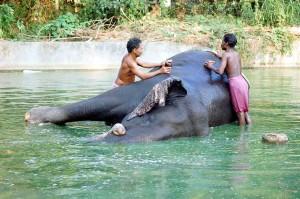 Un lefante si bagna nel fiume nel Kerala