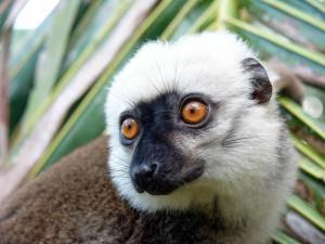 Un simpatico lemure