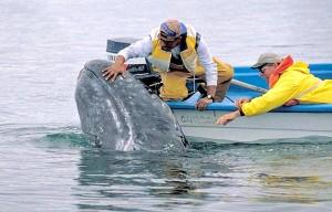 Le balene nella Baja California