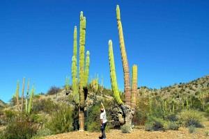 I magnifici cactis nella Baja California
