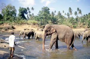 Sri Lanka, orfanotrofio elefantini a Pinnawala