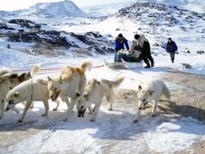 Groenlandia, cani da slitta