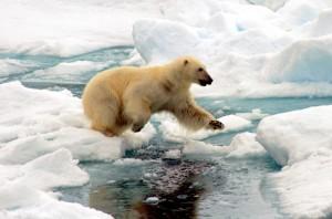 Svalbard, orso polare