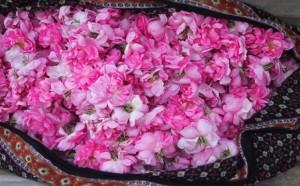 Oman, rose fiorite