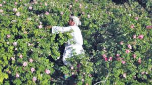 Oman, la raccolta delle rose