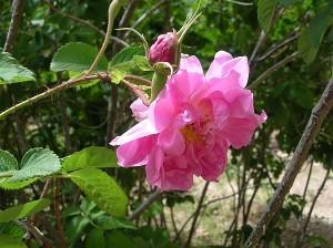 Oma, profumo di rose