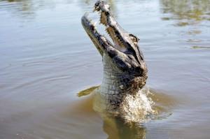 Brasile, un alligatore