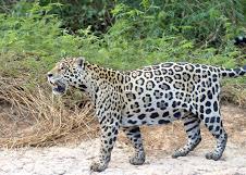 Brasile, giaguaro