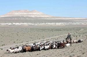 Kazakistan, gregge