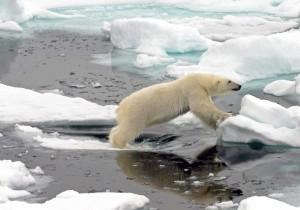Un orso polare