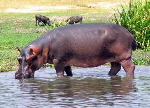 Uganda, un ippopotamo
