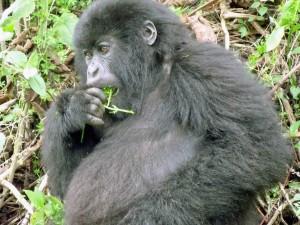 Uganda, un orango