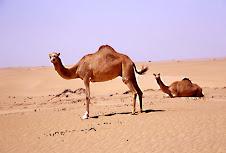 Oma, cammelli nel deserto
