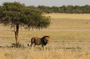 Sud Africa, il leone