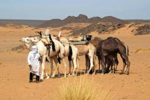 Algeria, dromedari