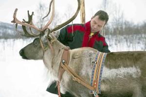 Lapponia, le renne di Babbo Natale