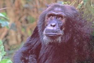 Tanzania, scimpazè