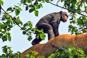 Tanzania, scimpanzè