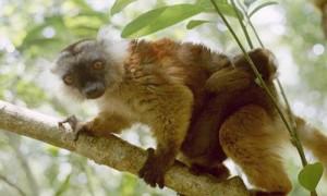 Scimmie in Madagascar
