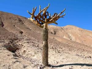 Cile, cactus nel deserto