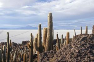 Bolivia, cactus