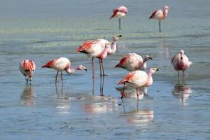 Bolivia, fenicotteri rosa