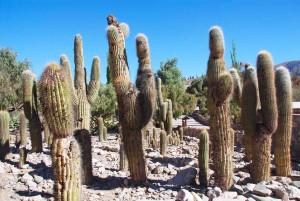 Argentina, una distesa di cactus