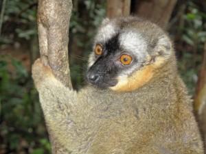 Madagascar, un simpatico lemure arrampicato su un albero