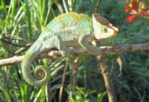 Madagascar, un camaleonte