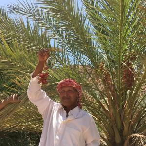 Egitto, nel deserto un beduino raccoglie datteri