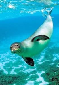 Croazia, foca monaca