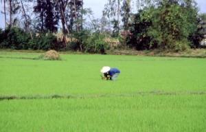 Vietnam, risaia