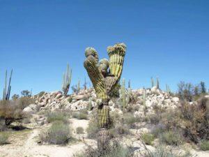 Baja California, cactus