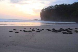 Nicaragua, lo spettacolo serale delle tartarughine che raggiungono il mare vper la prima volta