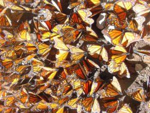 meco02m Farfalle Monarca